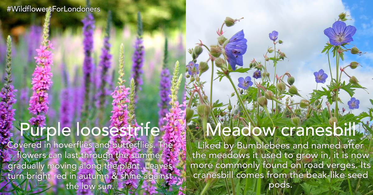 Loosestrife-and-cranesbill.png