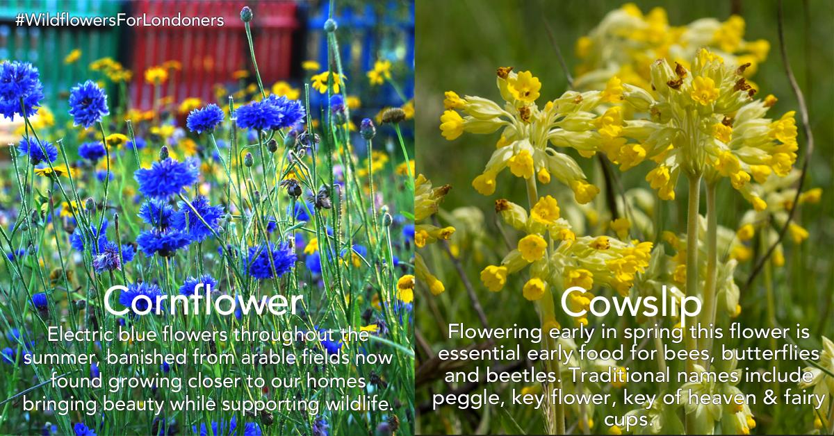 cornflower-cowslip.png