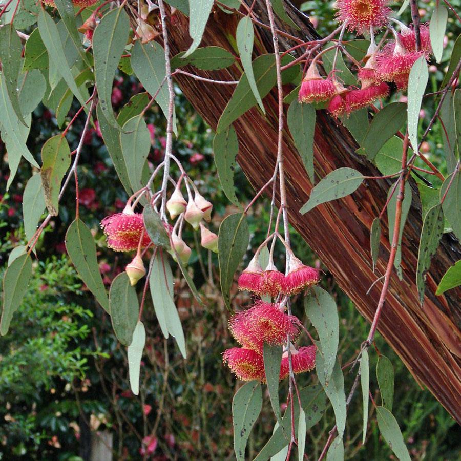 eucalyptus_caesia_1.jpg