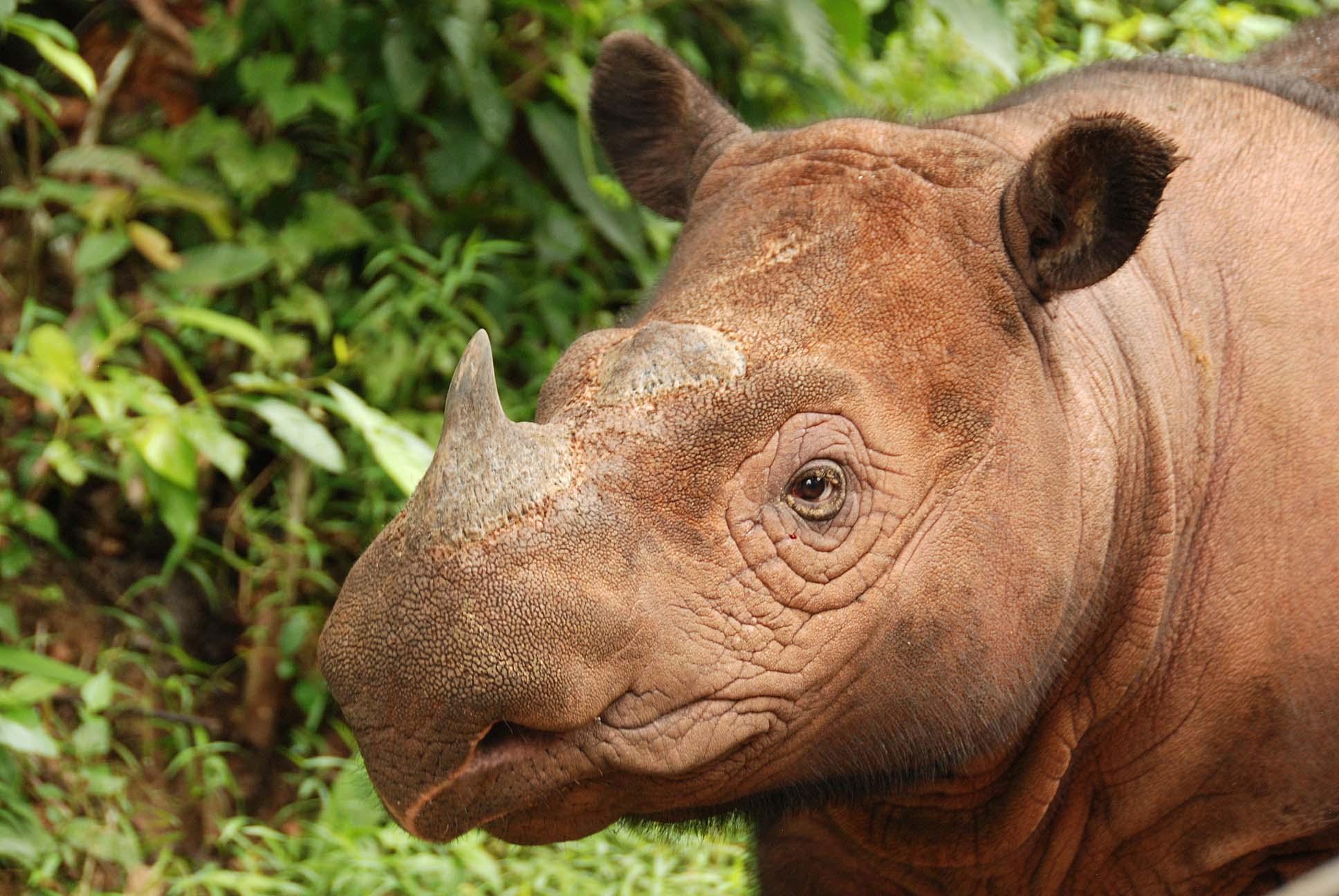 SumatranRhino.jpg
