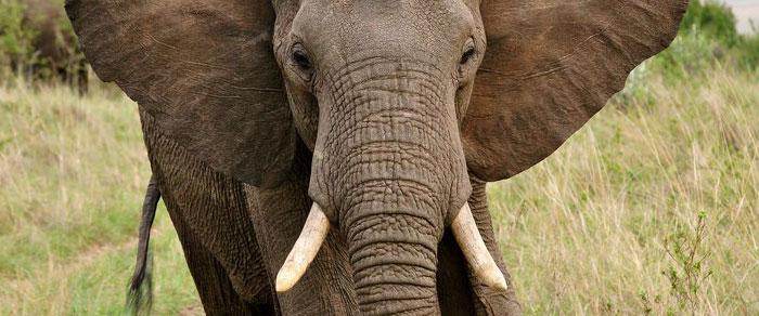 ElephantIvoryBanCA.jpg