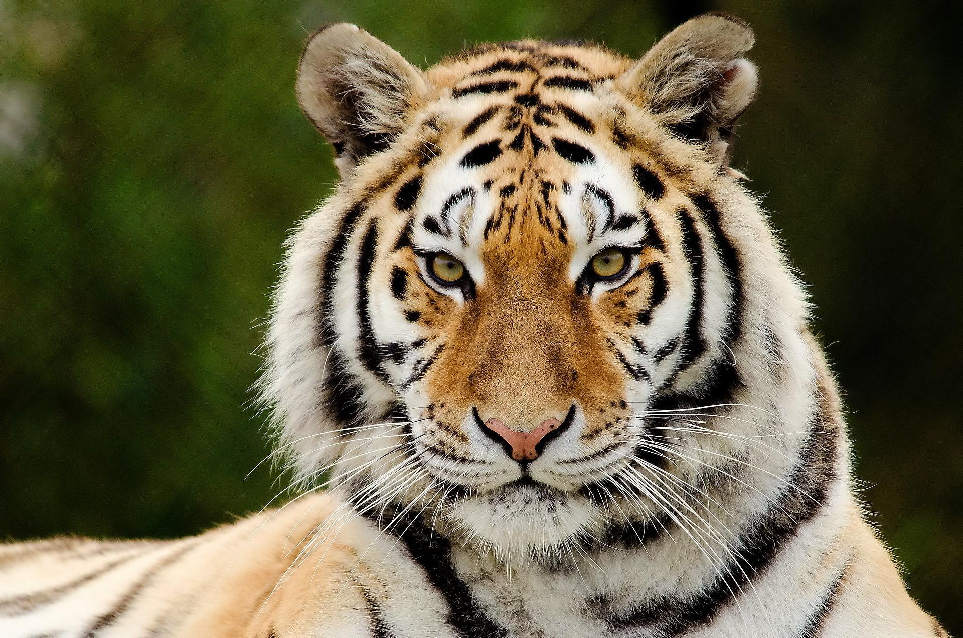 TigerPoaching.jpg