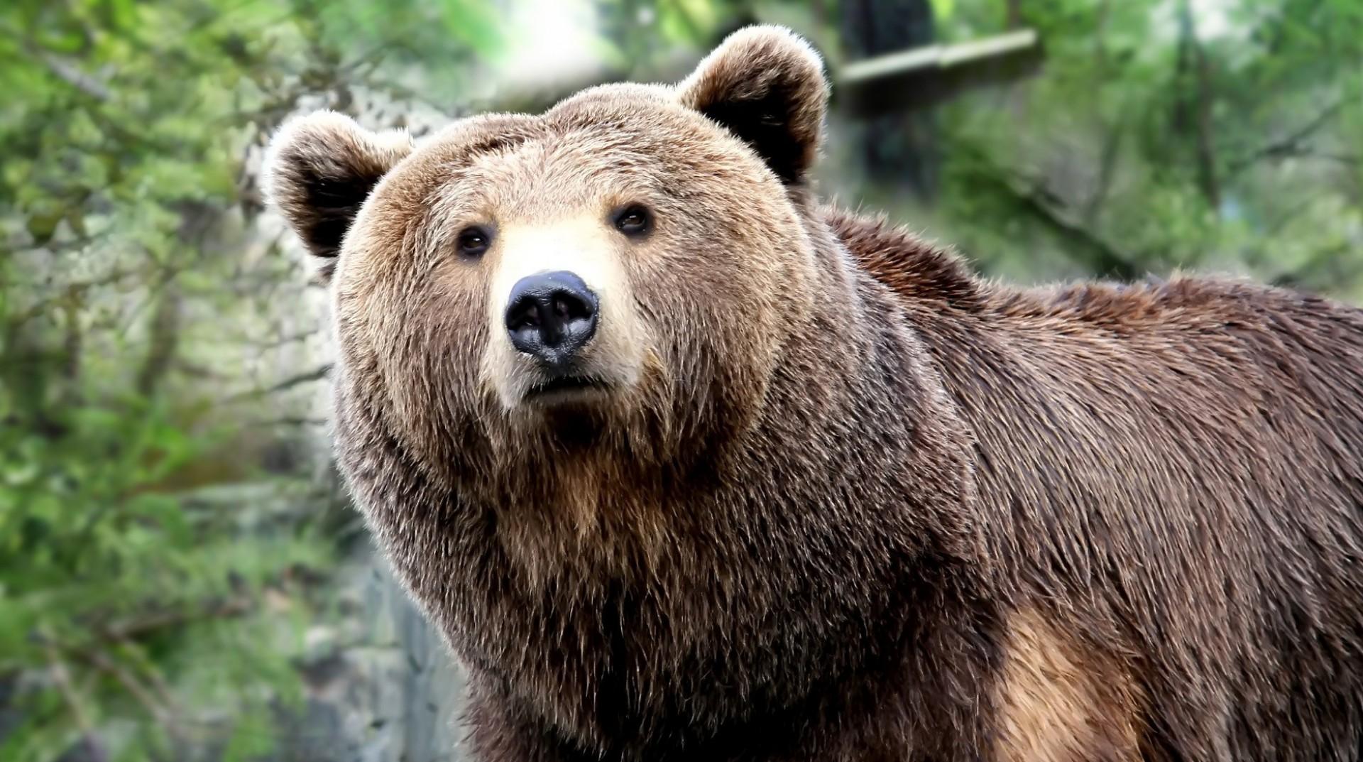 GrizzlyBearEndangeredSpecies.jpeg