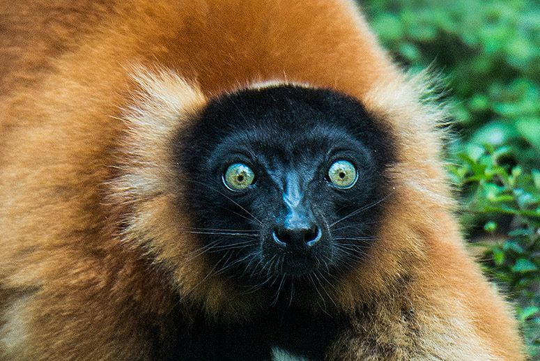 red-ruffed-lemur.jpg