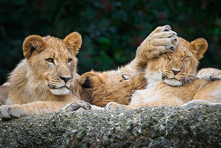 lion-cubs.jpg