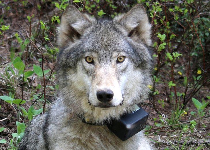 oregonwolfodfw.jpg