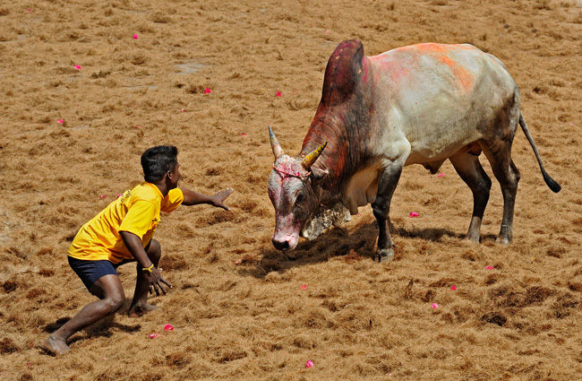 Bull_Fighting_India_Style_Lenthall.jpg
