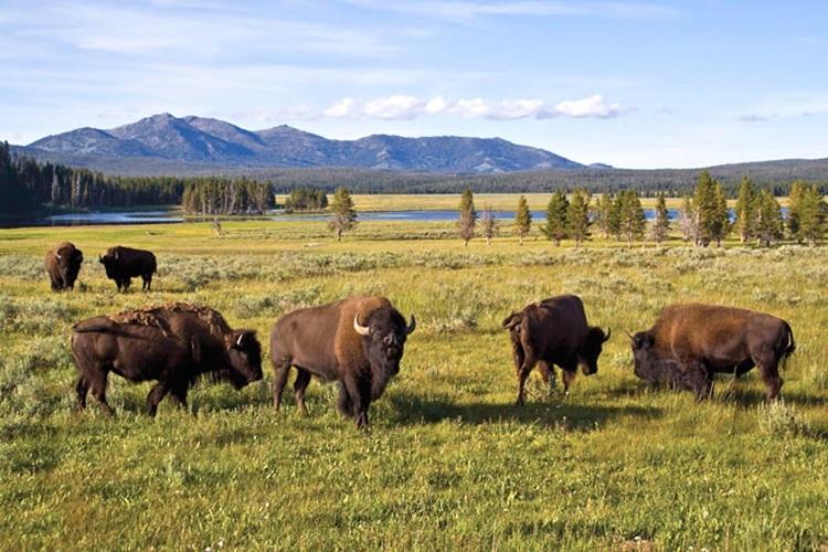 bison_750.jpg