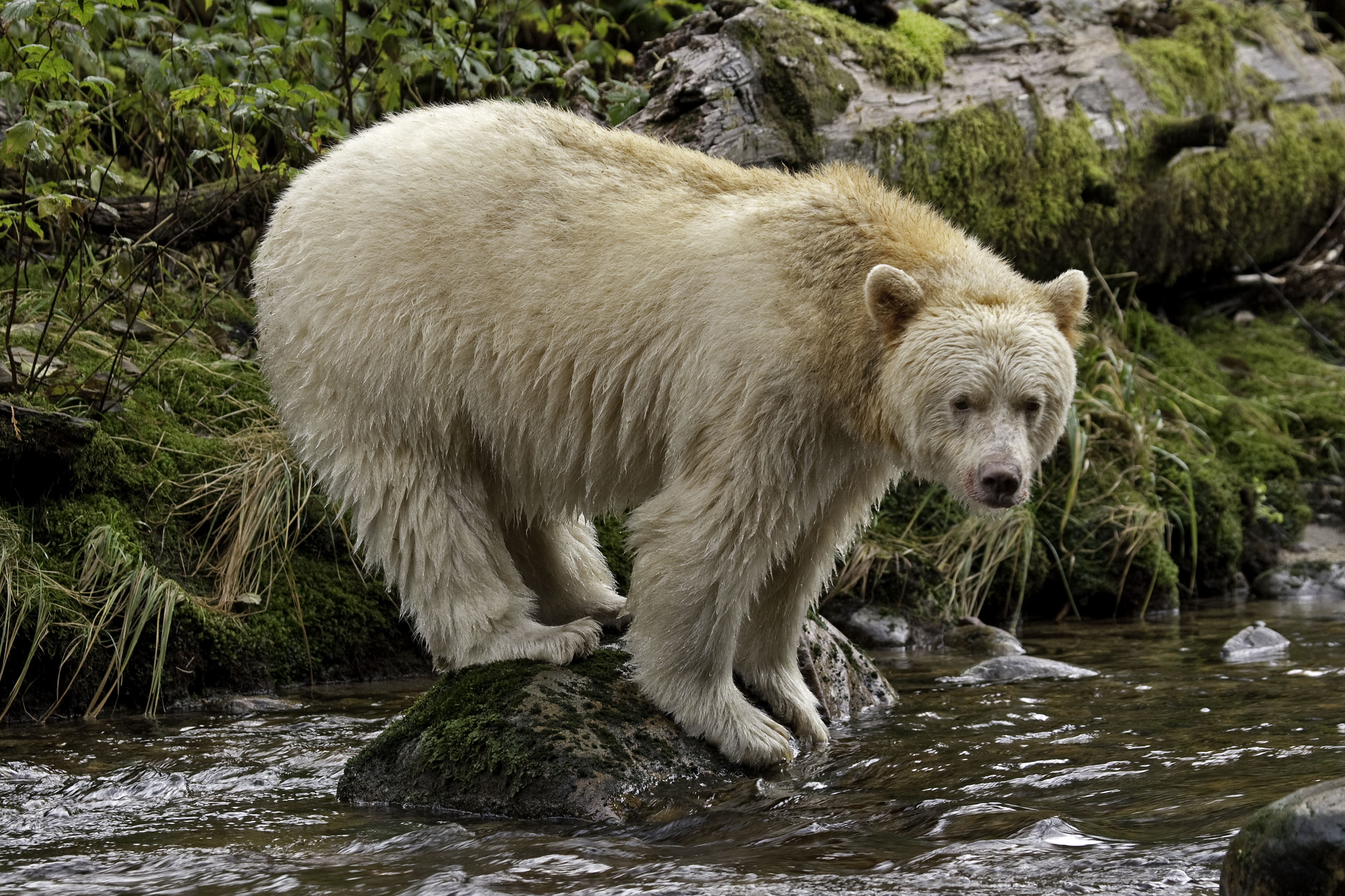 spirit-bear-on-rock2.jpg