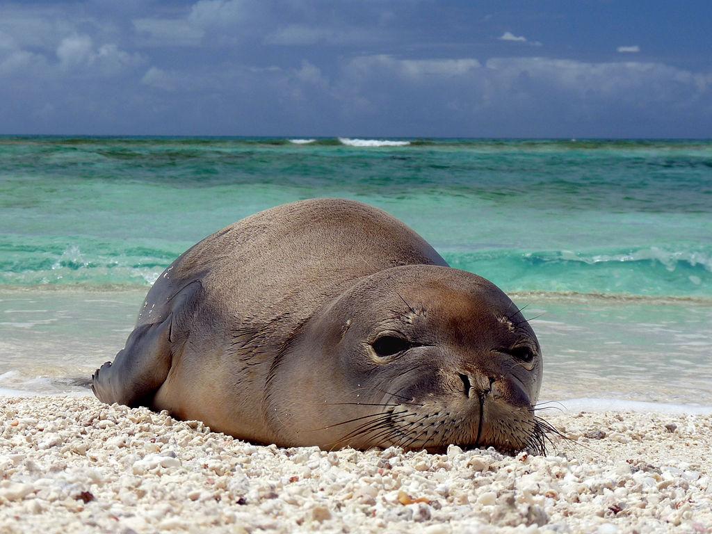 HawaiianMonkSeal.jpg