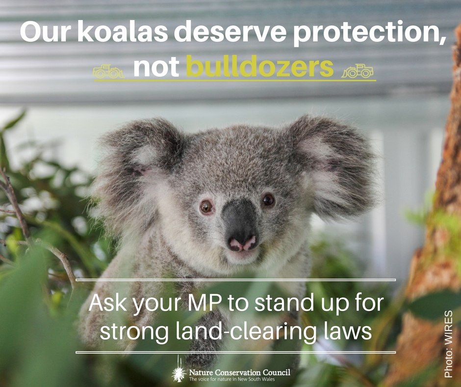 Our_koalas_deserve_protection__NCC_copy.jpg
