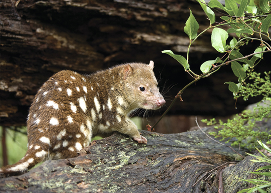 spotted_tailed_quoll.jpg