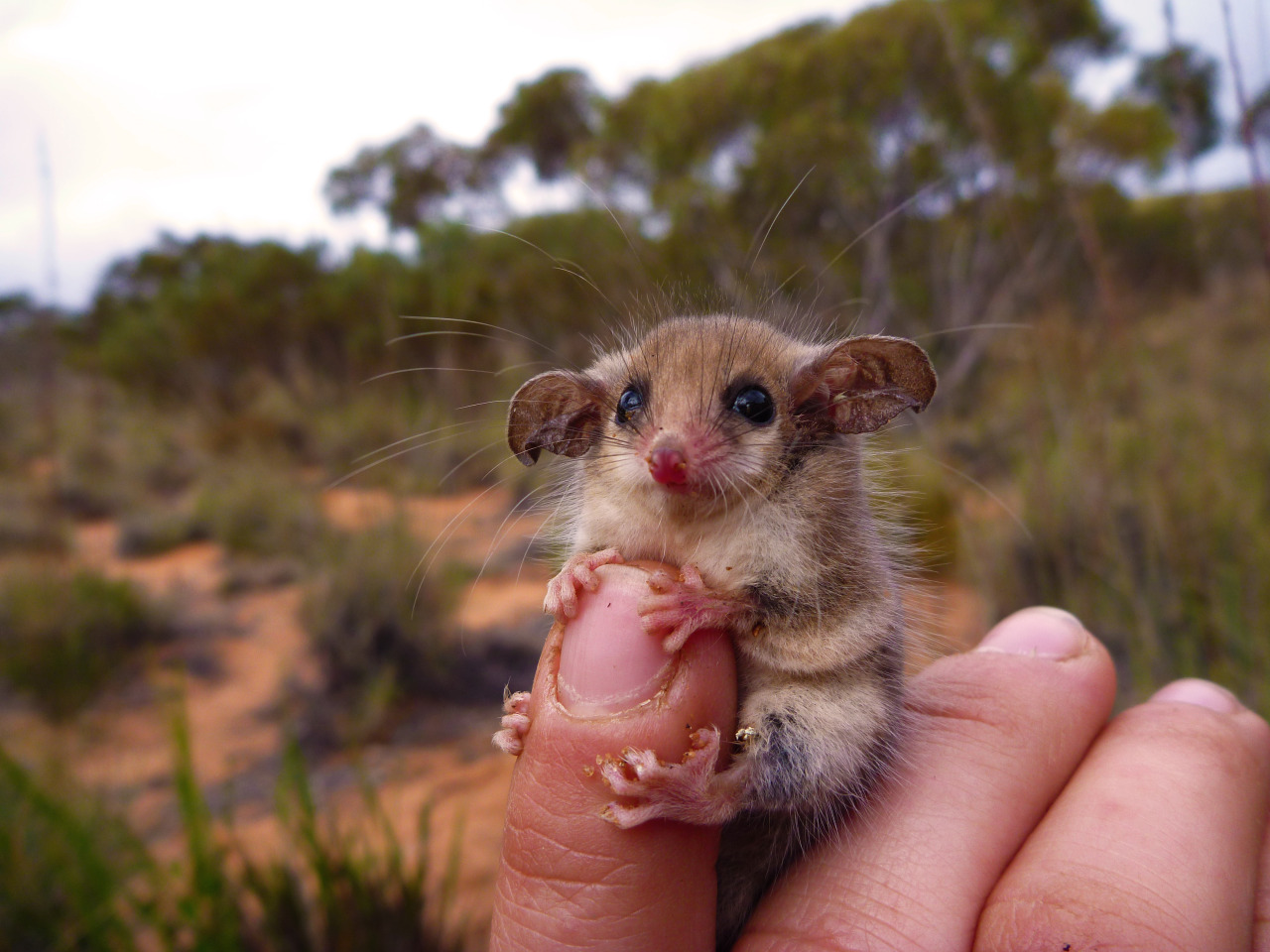 pygmy_possum.jpg