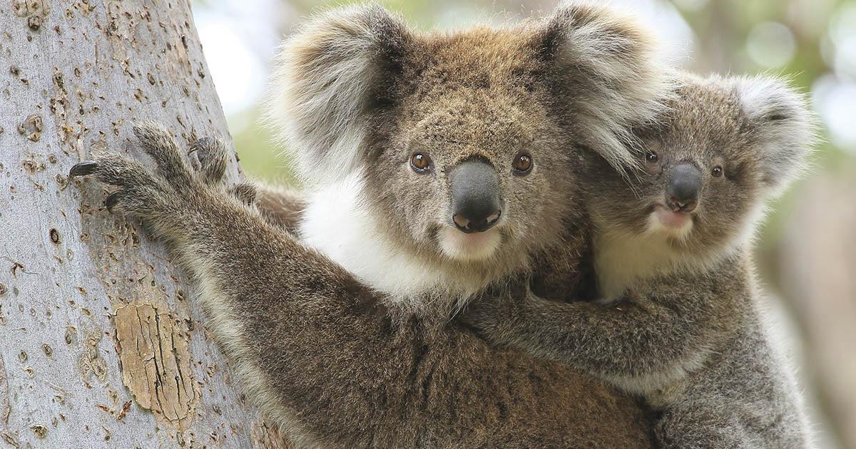 Koala with Joey 1200px