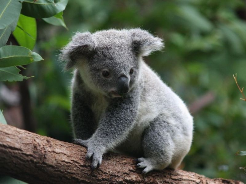 Koala_(postcard__no_text).jpg
