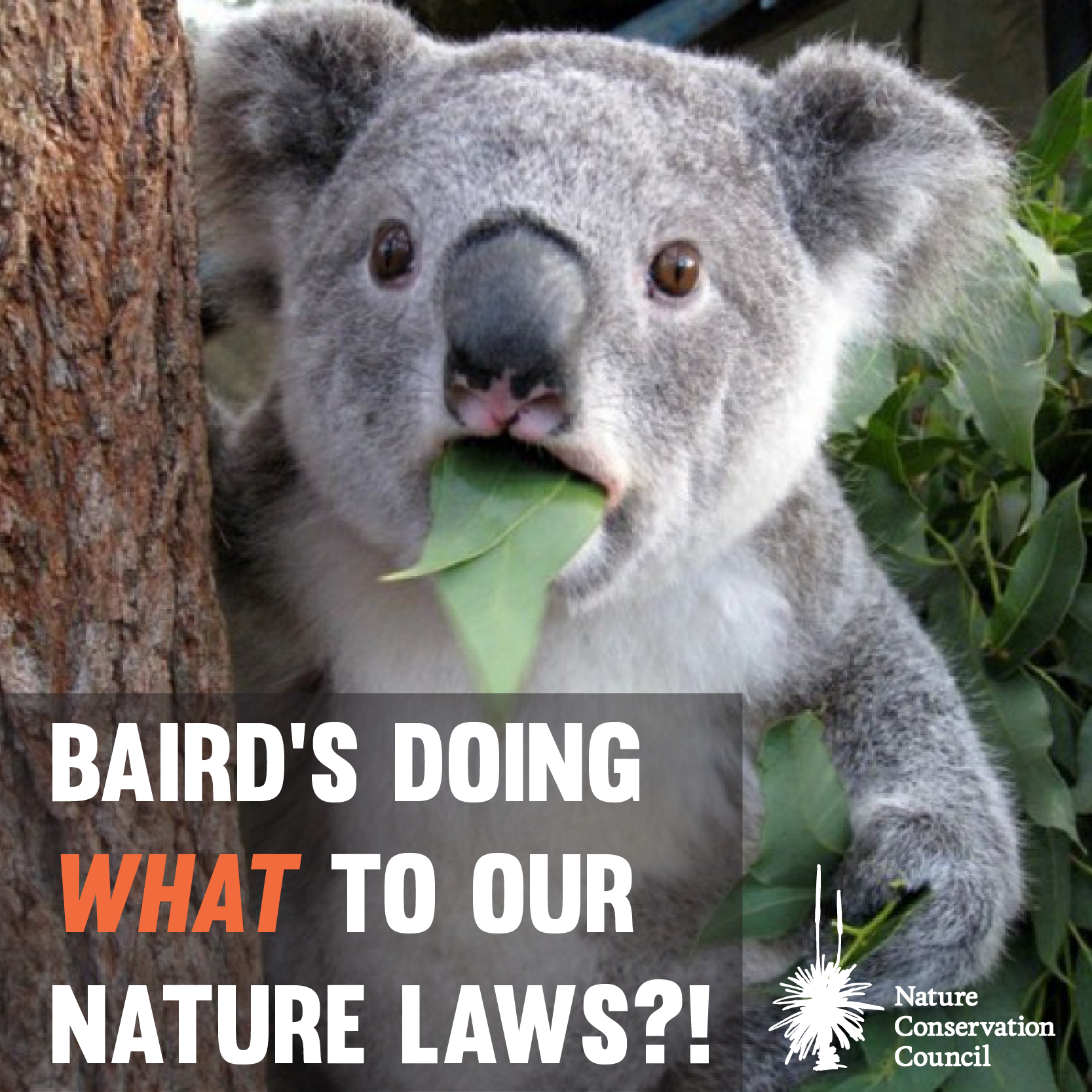 "Shocked koala with text ""Baird's doing what to our nature laws?!"""