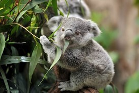 koala-istock.jpg
