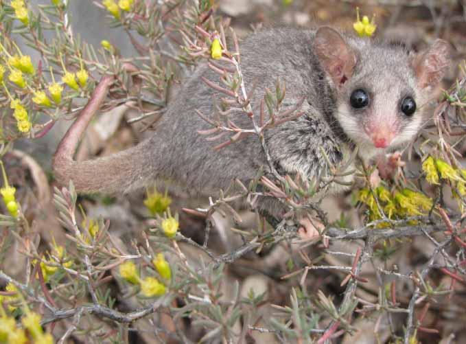 Pilliga pygmy possum