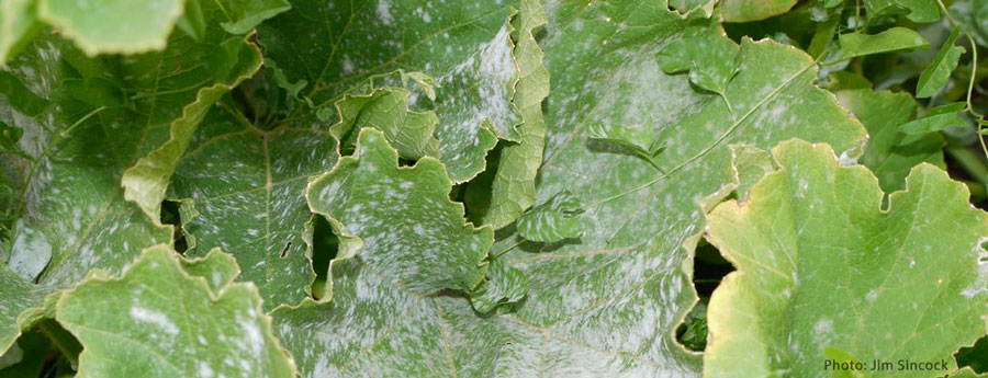 Several large green plant leaves covered in powdery mildew