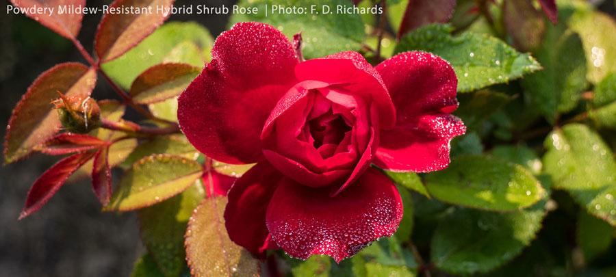 Bright red/pink hybrid shrub rose, resistant to powdery mildew