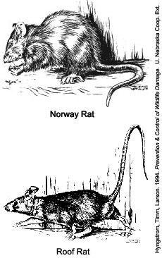 Drawing of Norway rat vs. roof rat
