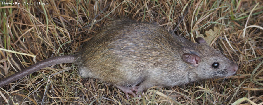 Closeup of Norway rat on ground