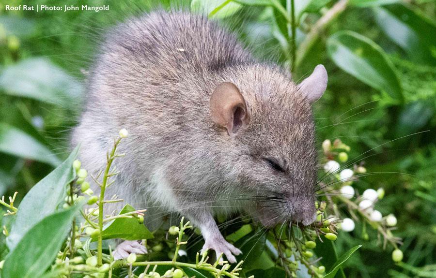 Closeup of roof rat on shrub