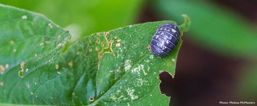 Closeup of pillbug on leaf, with chew mark in leaf