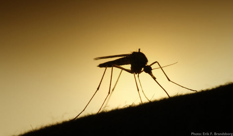 Mosquito_Credit_Erik_F_Brandsborg.jpg
