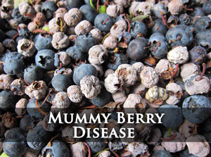 Click for Mummy Berry Disease