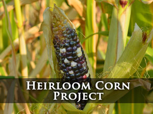 Click for Heirloom Corn Project