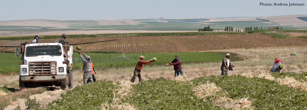 Farm workers in a field passing watermelons into a truck