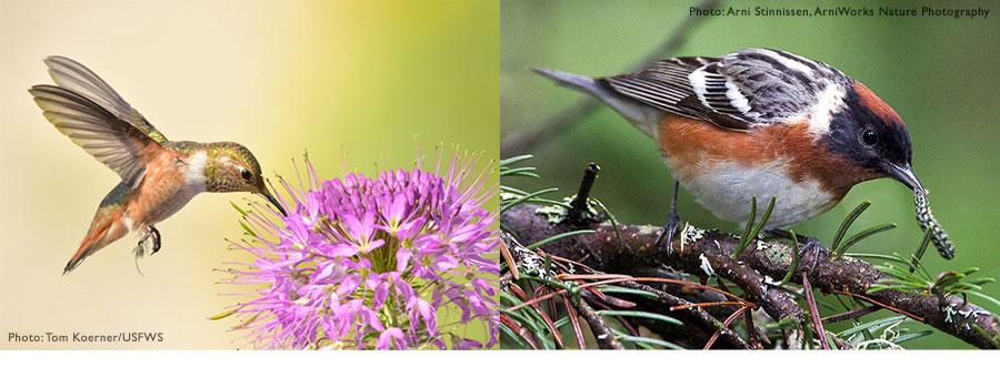 Migratory Bird Pollinators