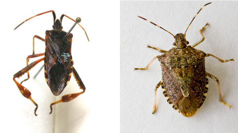 Western conifer seed bug, left (credit NY State IPM Program at Cornell University), commonly mistaken for the brown marmorated stink bug, right (credit Oregon State University).