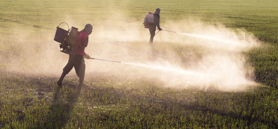 Two people with backpack sprayers, spraying pesticides in a field