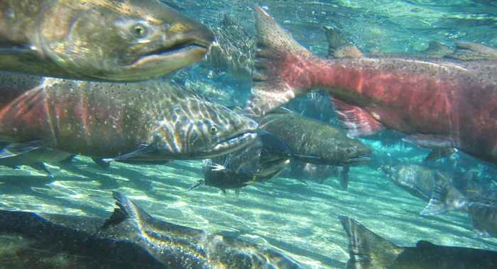 Closeup of several large salmon underwater