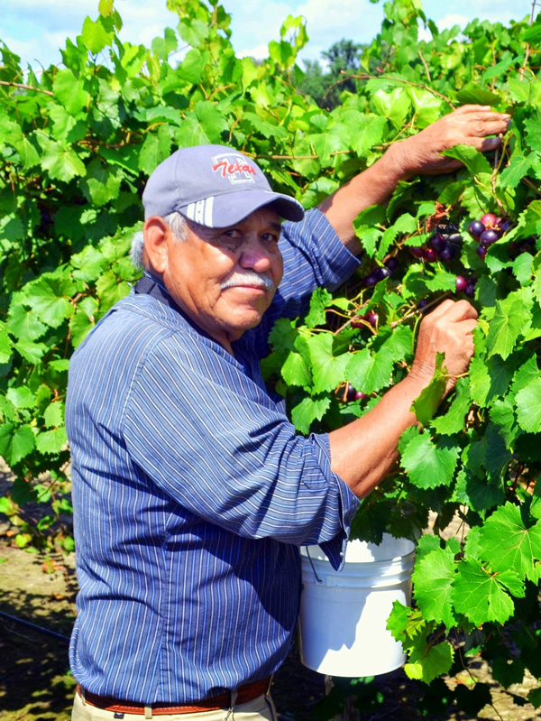 Man harvesting muscadine grapes with bucket