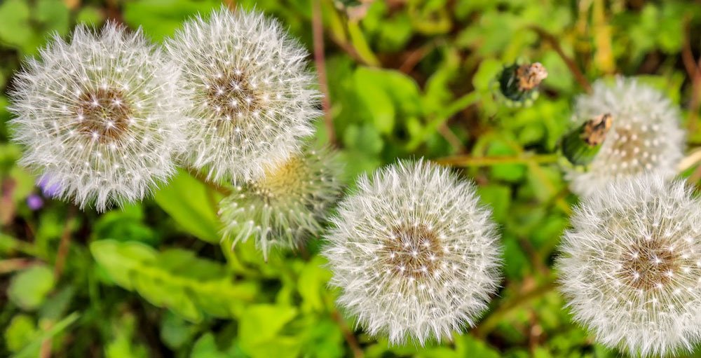 """Closeup of dandelions' spherical seed heads or """"puffballs"""""""