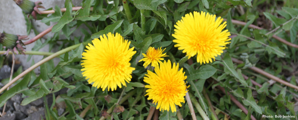 Yellow dandelion flowers with jagged green leaves