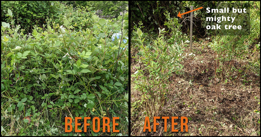 Patch of blackberry and other weeds (before), and after shot of small oak tree clear of weeds