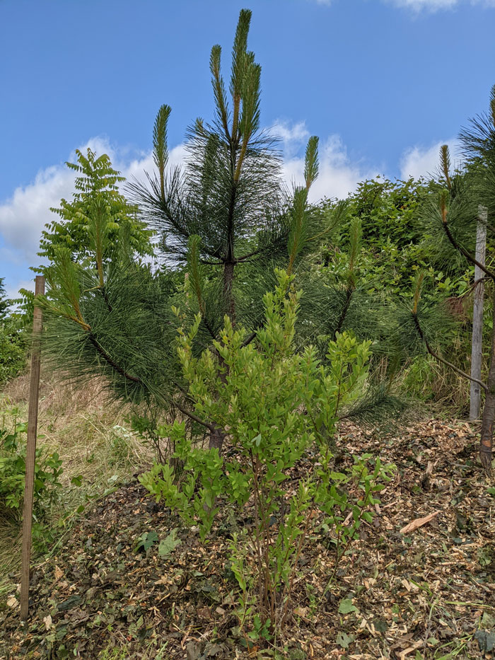 A small pine tree stands tall