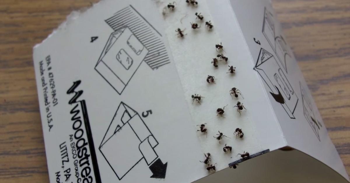 Ants on sticky trap