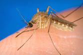 mosquito.jpg