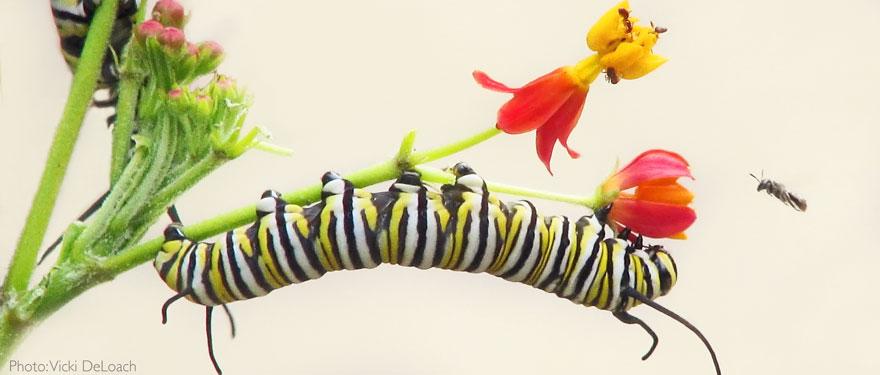CaterpillarVickiDeLoach.jpg