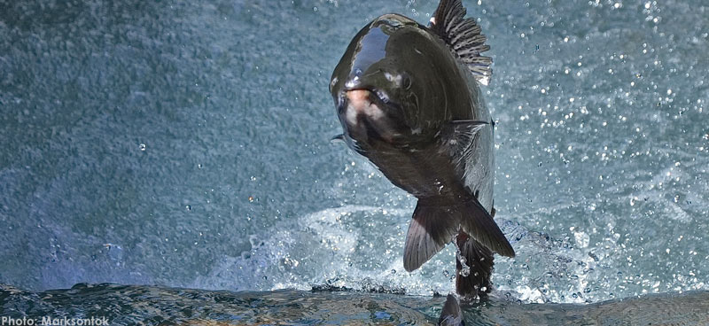 Closeup of salmon jumping up out of the water