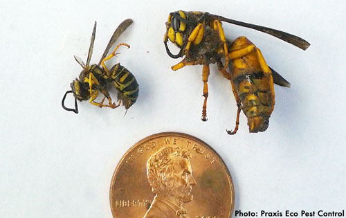 natural yellowjacket control part 1 northwest center for