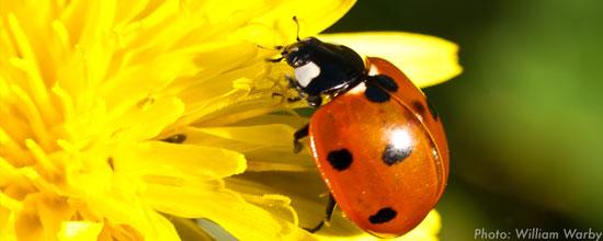 LadybugWW.jpg