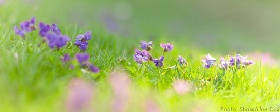 Violets in Lawn