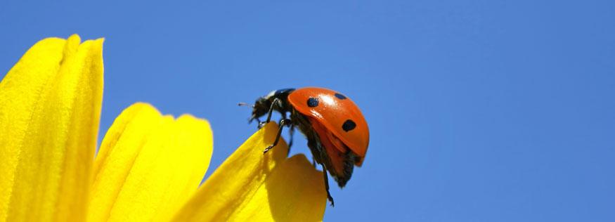 LadybugHeader.jpg