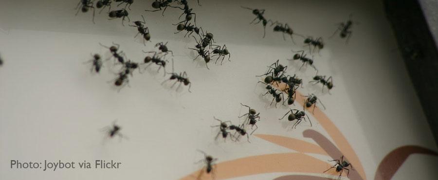 Ant invasion